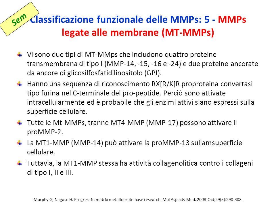 Classificazione funzionale delle MMPs: 5 - MMPs legate alle membrane (MT-MMPs)