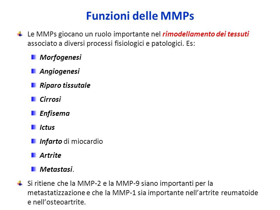 Funzioni delle MMPs Le MMPs giocano un ruolo importante nel rimodellamento dei tessuti associato a diversi processi fisiologici e patologici. Es: