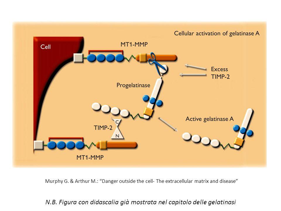 N.B. Figura con didascalia già mostrata nel capitolo delle gelatinasi