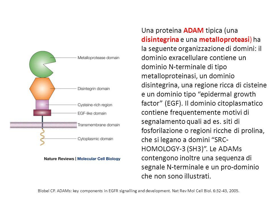 Una proteina ADAM tipica (una disintegrina e una metalloproteasi) ha la seguente organizzazione di domini: il dominio exracellulare contiene un dominio N-terminale di tipo metalloproteinasi, un dominio disintegrina, una regione ricca di cisteine e un dominio tipo epidermal growth factor (EGF). Il dominio citoplasmatico contiene frequentemente motivi di segnalamento quali ad es. siti di fosforilazione o regioni ricche di prolina, che si legano a domini SRC- HOMOLOGY-3 (SH3) . Le ADAMs contengono inoltre una sequenza di segnale N-terminale e un pro-dominio che non sono illustrati.