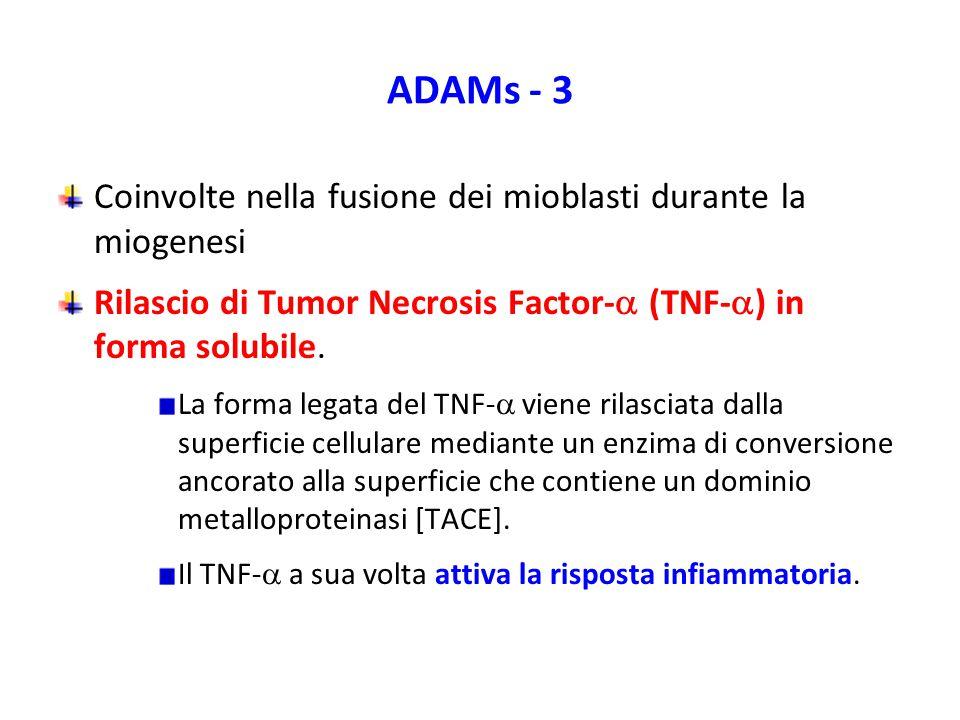 ADAMs - 3 Coinvolte nella fusione dei mioblasti durante la miogenesi