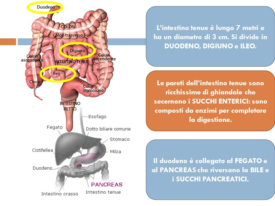 L'intestino tenue è lungo 7 metri e ha un diametro di 3 cm