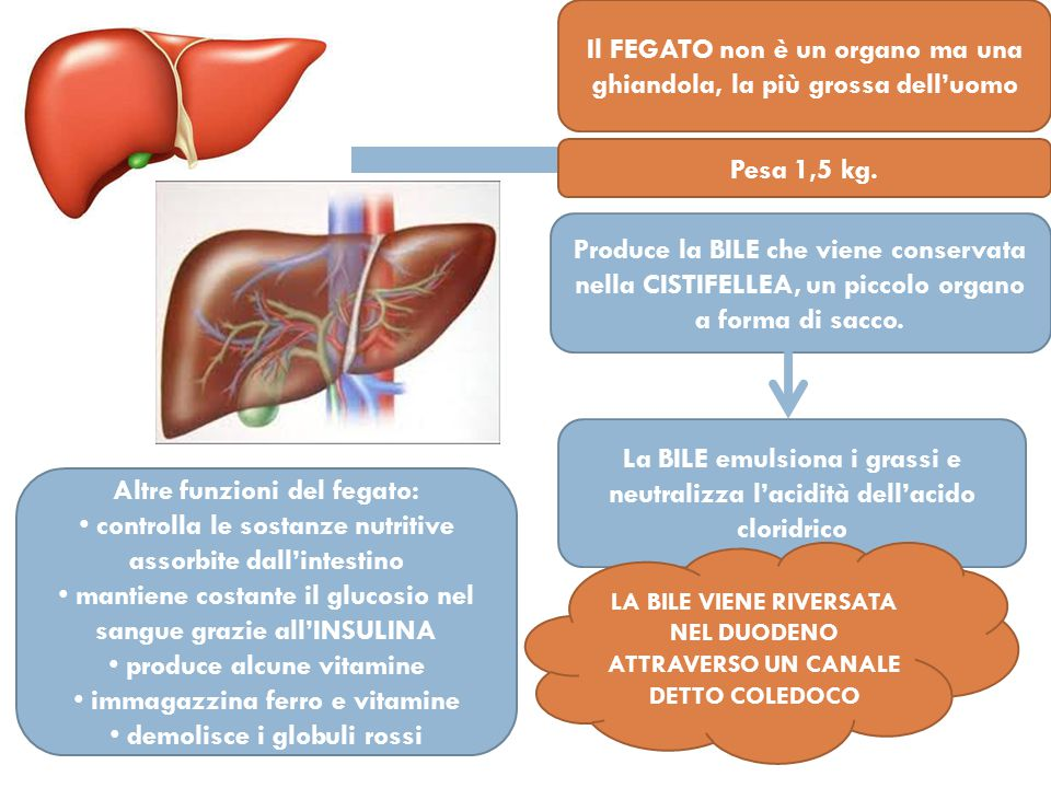 Il FEGATO non è un organo ma una ghiandola, la più grossa dell'uomo