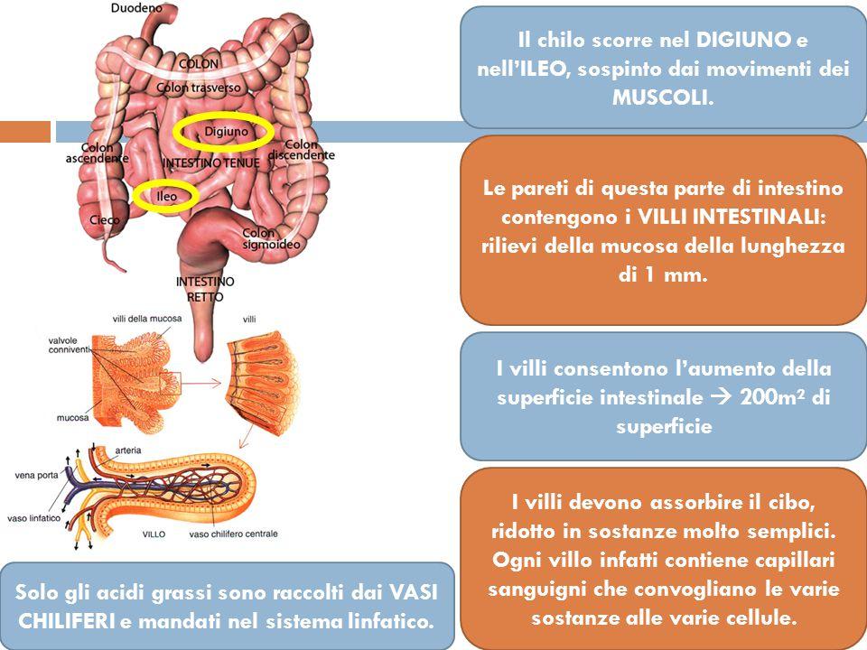 Il chilo scorre nel DIGIUNO e nell'ILEO, sospinto dai movimenti dei MUSCOLI.
