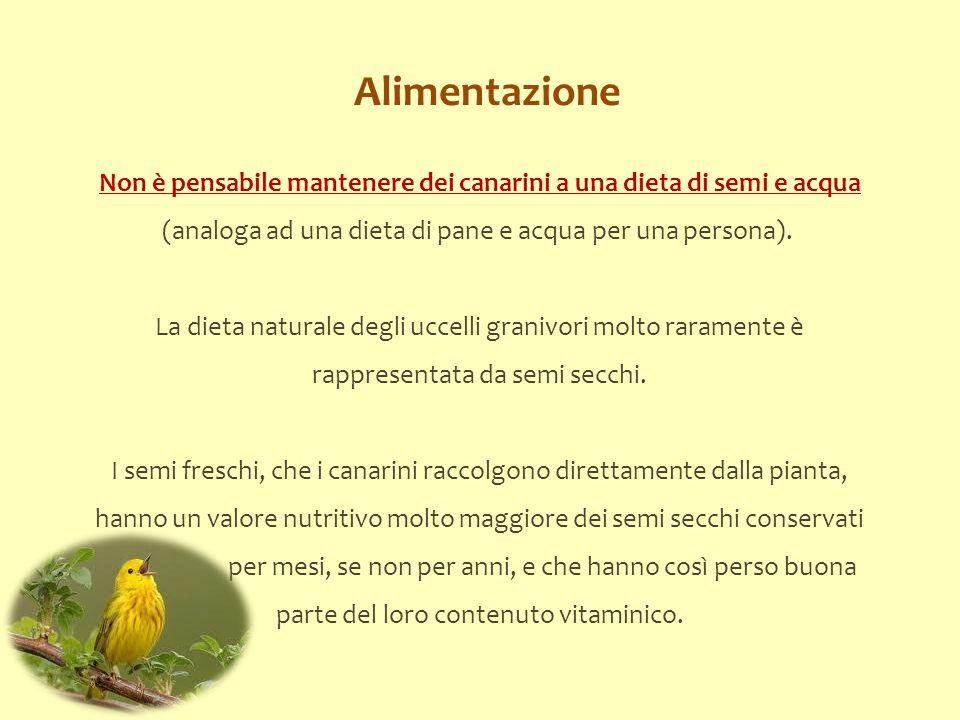 Alimentazione Non è pensabile mantenere dei canarini a una dieta di semi e acqua (analoga ad una dieta di pane e acqua per una persona).