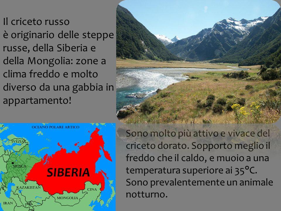Il criceto russo è originario delle steppe russe, della Siberia e della Mongolia: zone a clima freddo e molto diverso da una gabbia in appartamento!
