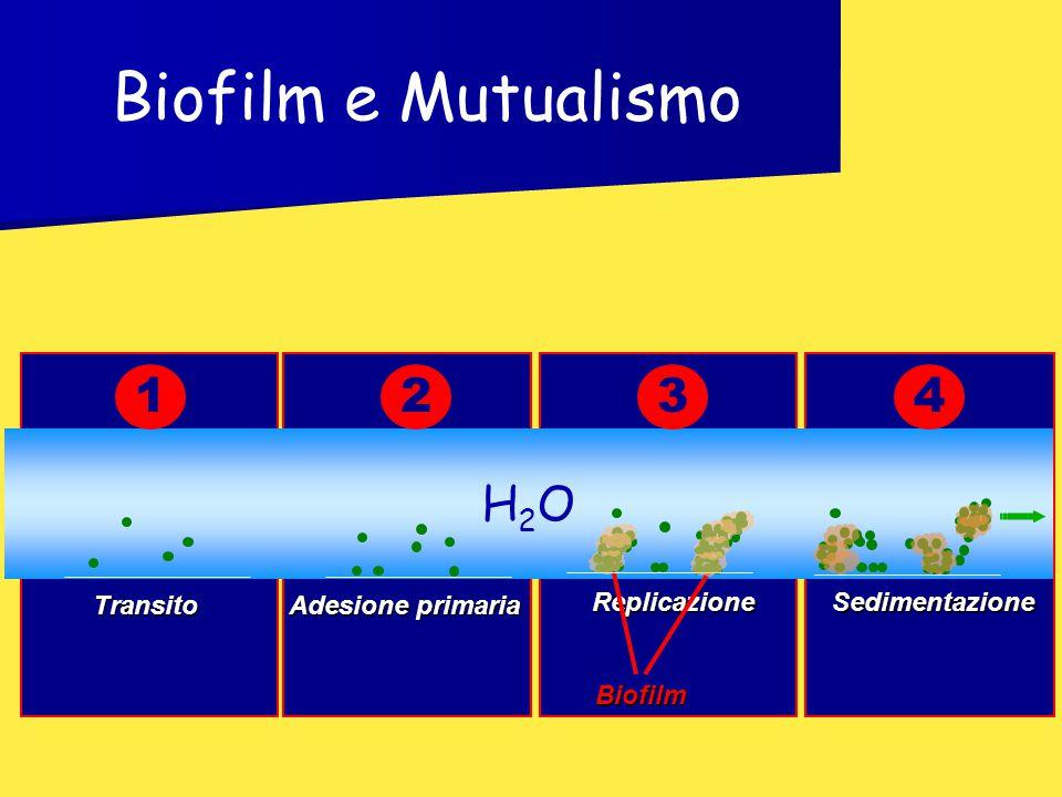 Biofilm e Mutualismo 1 2 3 4 H2O Biofilm Transito Adesione primaria