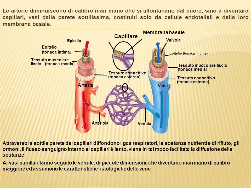 Le arterie diminuiscono di calibro man mano che si allontanano dal cuore, sino a diventare capillari, vasi dalla parete sottilissima, costituiti solo da cellule endoteliali e dalla loro membrana basale.