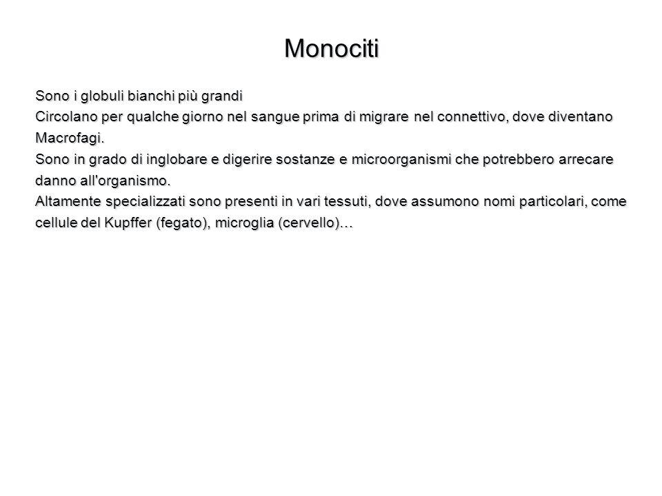 Monociti Sono i globuli bianchi più grandi