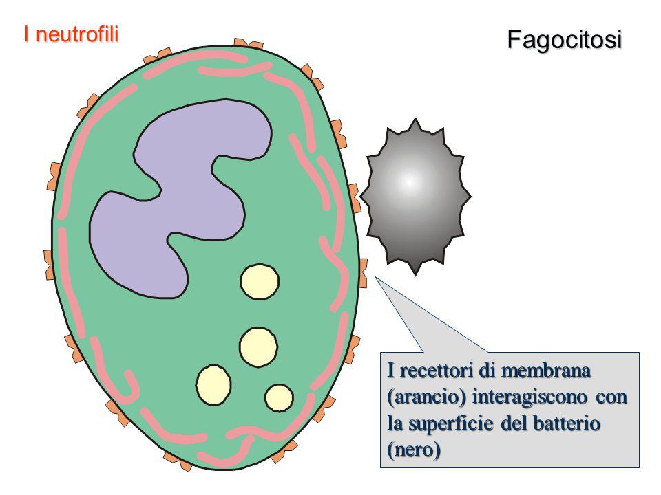 Fagocitosi I neutrofili