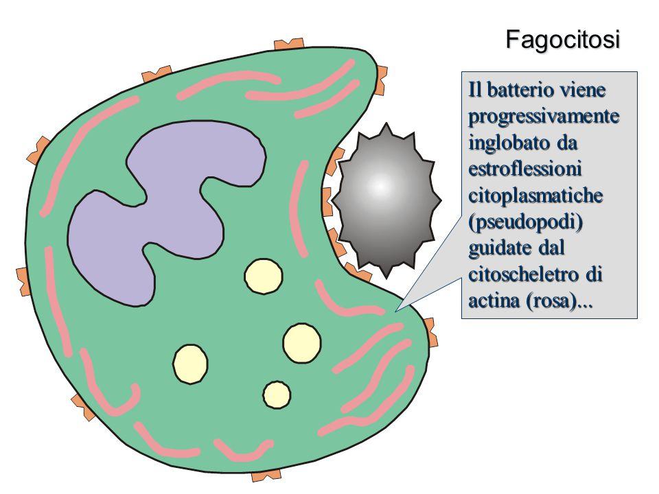 Fagocitosi Il batterio viene progressivamente inglobato da estroflessioni citoplasmatiche (pseudopodi) guidate dal citoscheletro di actina (rosa)...