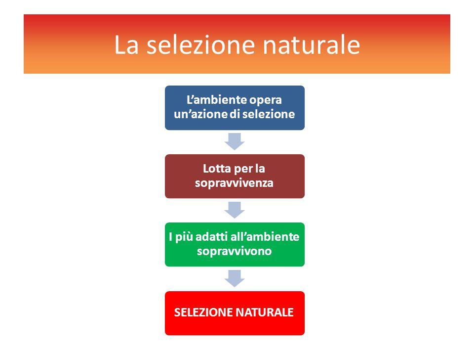 La selezione naturale L'ambiente opera un'azione di selezione