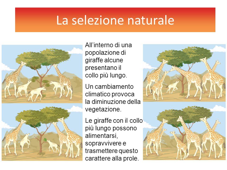La selezione naturale All'interno di una popolazione di giraffe alcune presentano il collo più lungo.