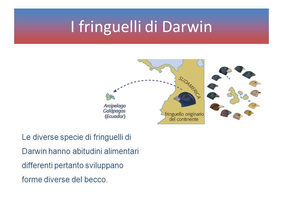 I fringuelli di Darwin Le diverse specie di fringuelli di Darwin hanno abitudini alimentari differenti pertanto sviluppano forme diverse del becco.
