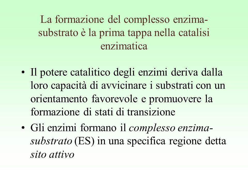 La formazione del complesso enzima-substrato è la prima tappa nella catalisi enzimatica