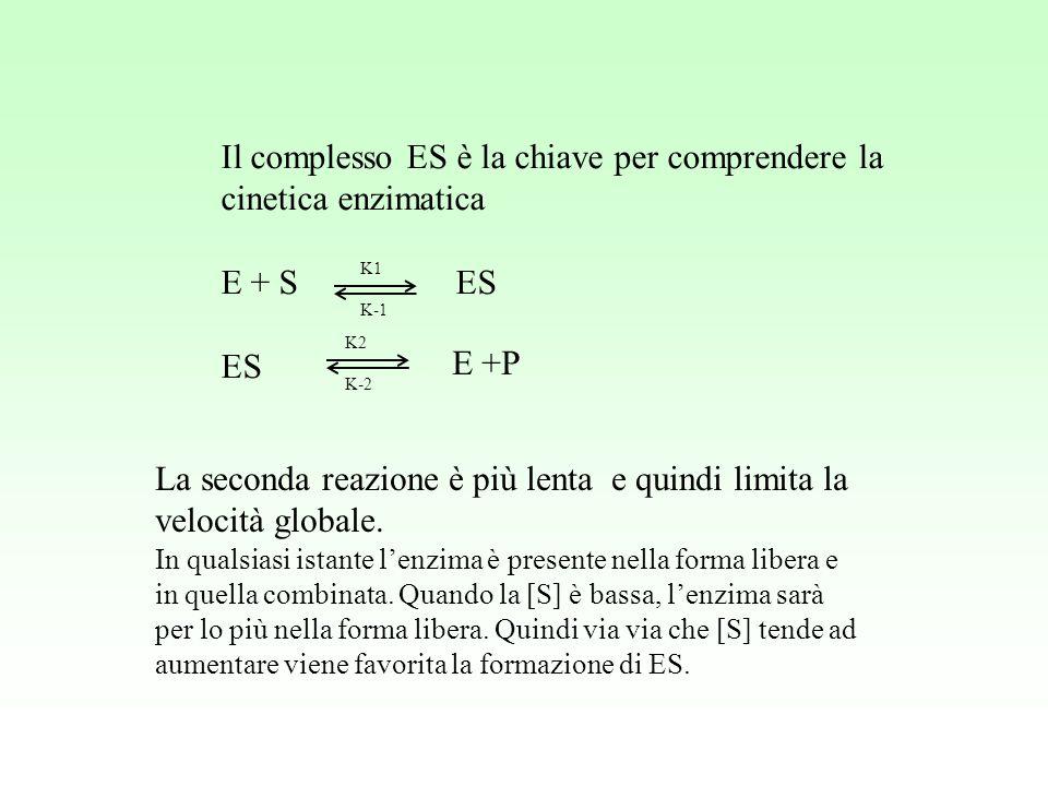 Il complesso ES è la chiave per comprendere la cinetica enzimatica