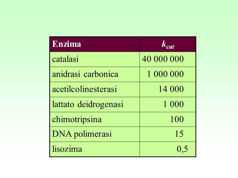 Enzima kcat. catalasi. 40 000 000. anidrasi carbonica. 1 000 000. acetilcolinesterasi. 14 000.