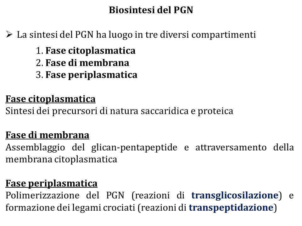 Biosintesi del PGN La sintesi del PGN ha luogo in tre diversi compartimenti. 1. Fase citoplasmatica.
