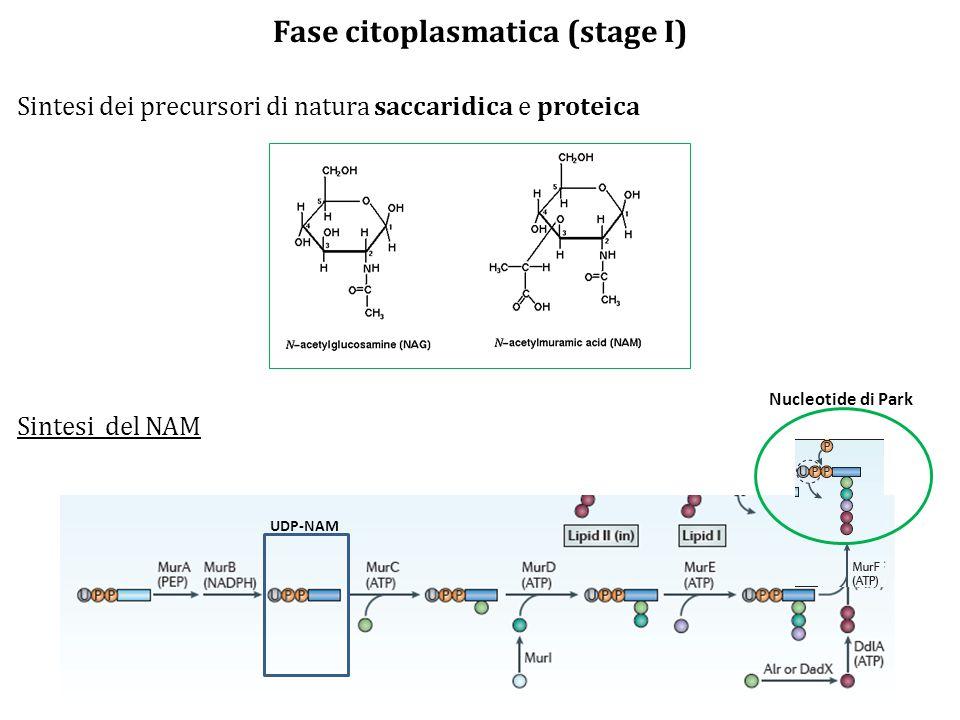 Fase citoplasmatica (stage I)