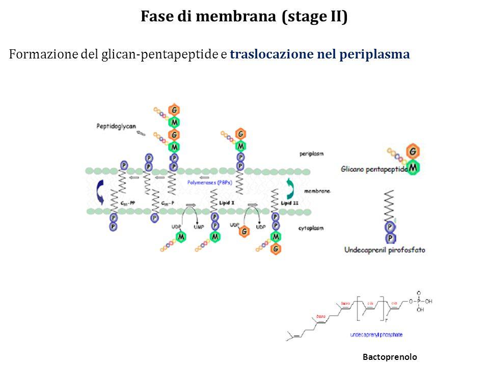 Fase di membrana (stage II)