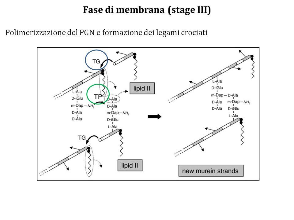 Fase di membrana (stage III)