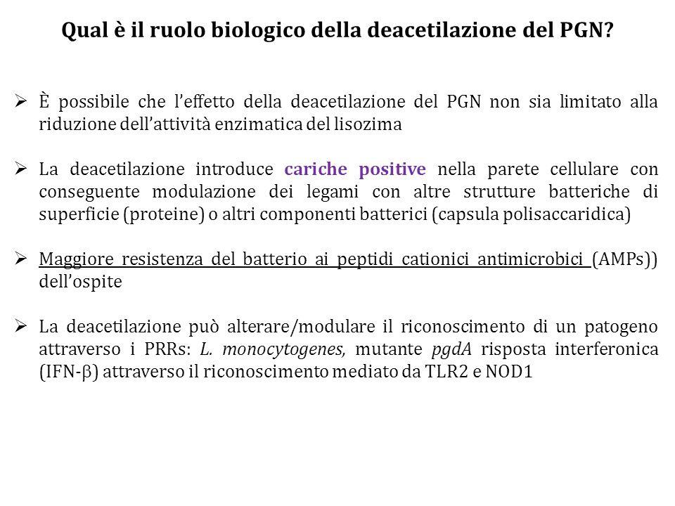 Qual è il ruolo biologico della deacetilazione del PGN