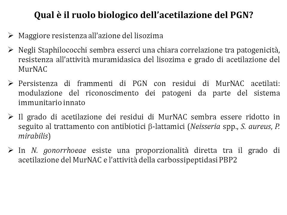 Qual è il ruolo biologico dell'acetilazione del PGN