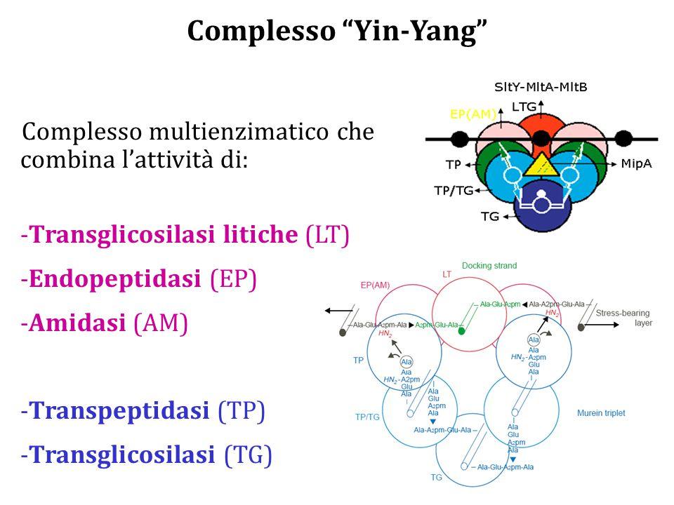 Complesso Yin-Yang Complesso multienzimatico che combina l'attività di: Transglicosilasi litiche (LT)