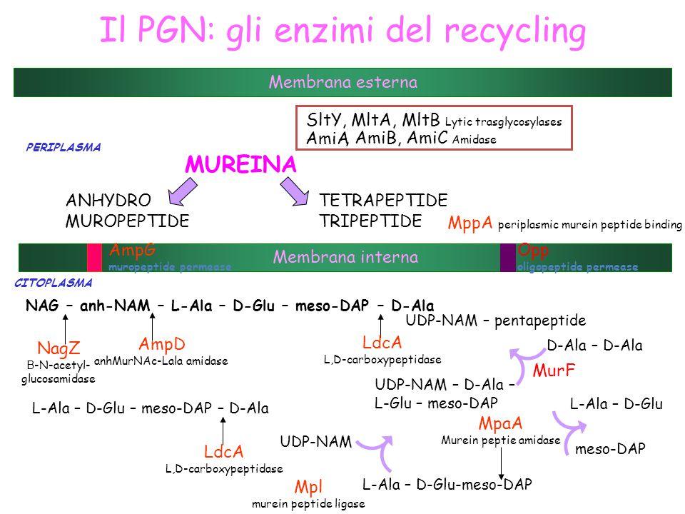 Il PGN: gli enzimi del recycling