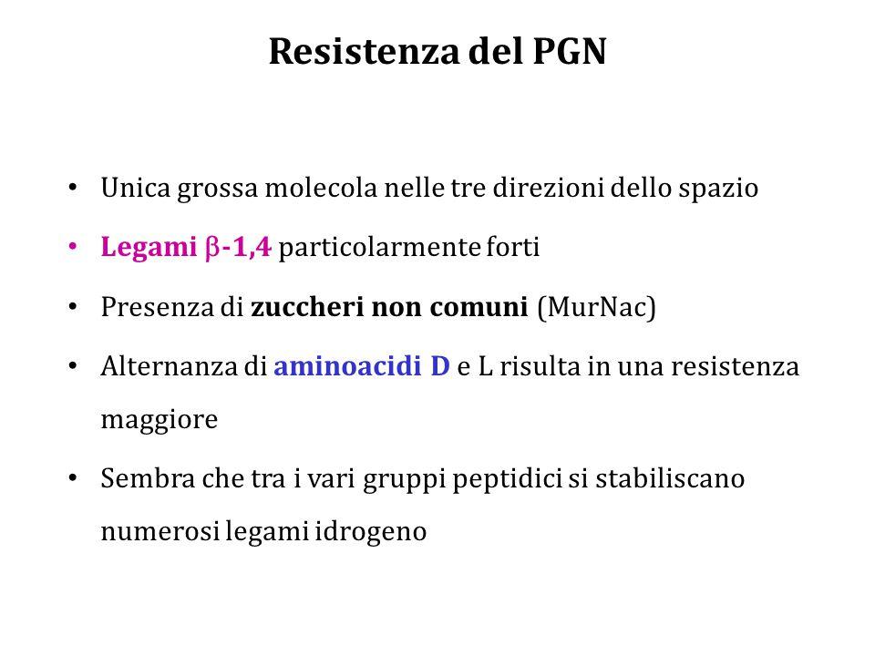 Resistenza del PGN Unica grossa molecola nelle tre direzioni dello spazio. Legami b-1,4 particolarmente forti.