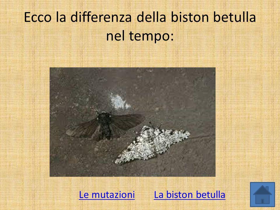 Ecco la differenza della biston betulla nel tempo: