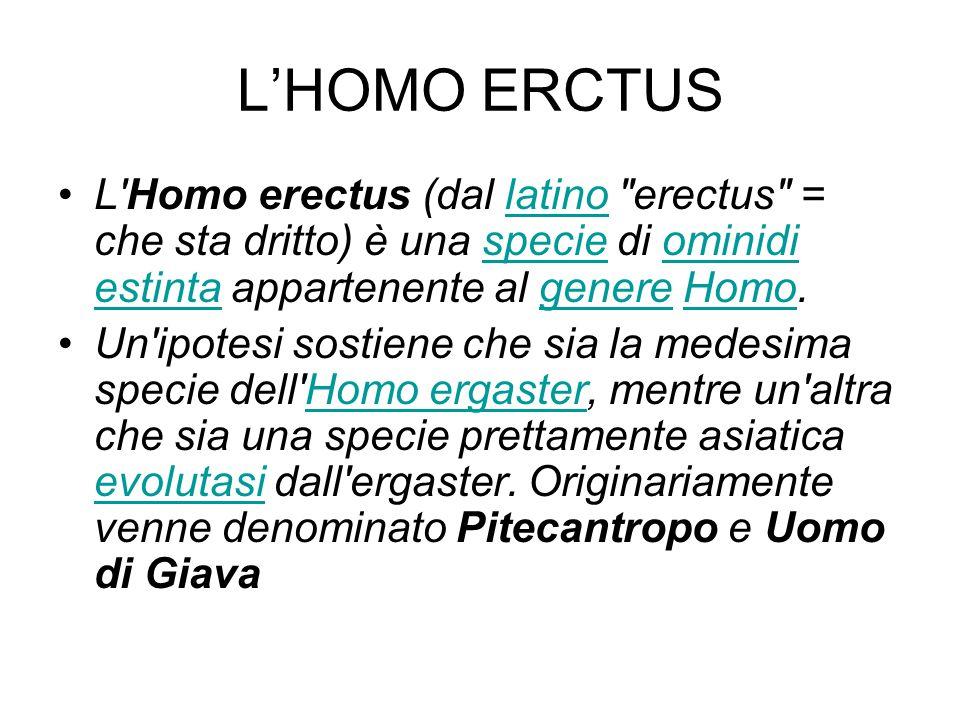 L'HOMO ERCTUS L Homo erectus (dal latino erectus = che sta dritto) è una specie di ominidi estinta appartenente al genere Homo.