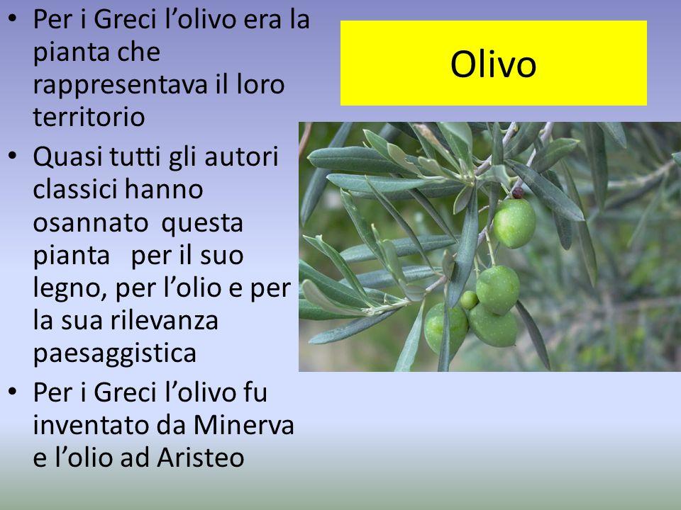Per i Greci l'olivo era la pianta che rappresentava il loro territorio