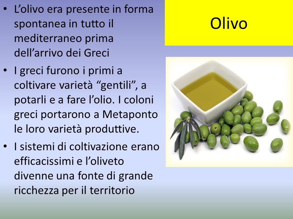 Olivo L'olivo era presente in forma spontanea in tutto il mediterraneo prima dell'arrivo dei Greci.