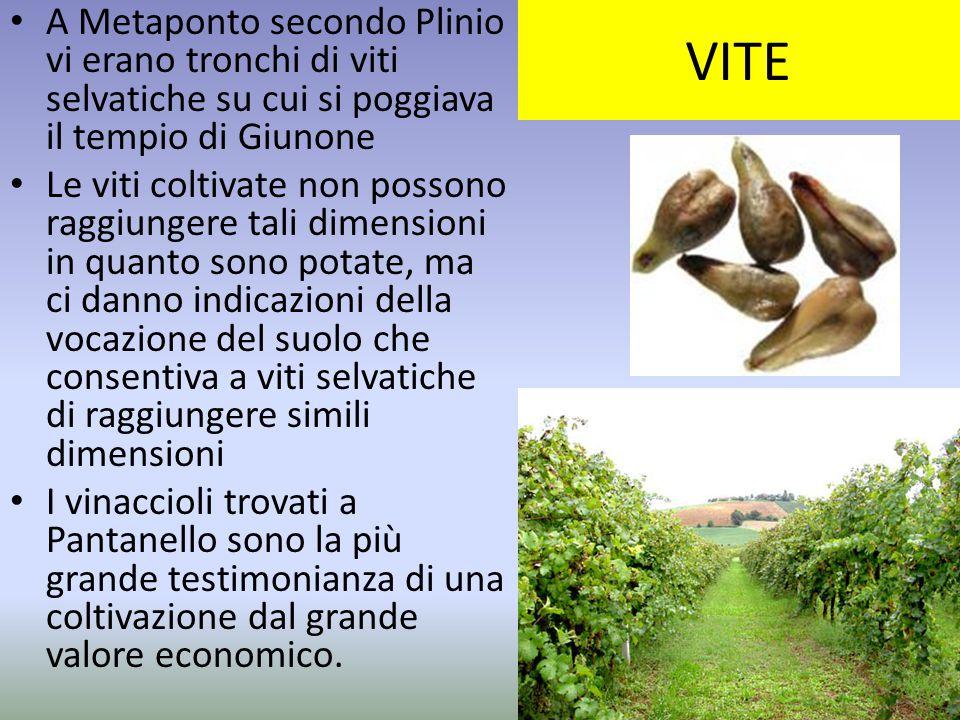 VITE A Metaponto secondo Plinio vi erano tronchi di viti selvatiche su cui si poggiava il tempio di Giunone.