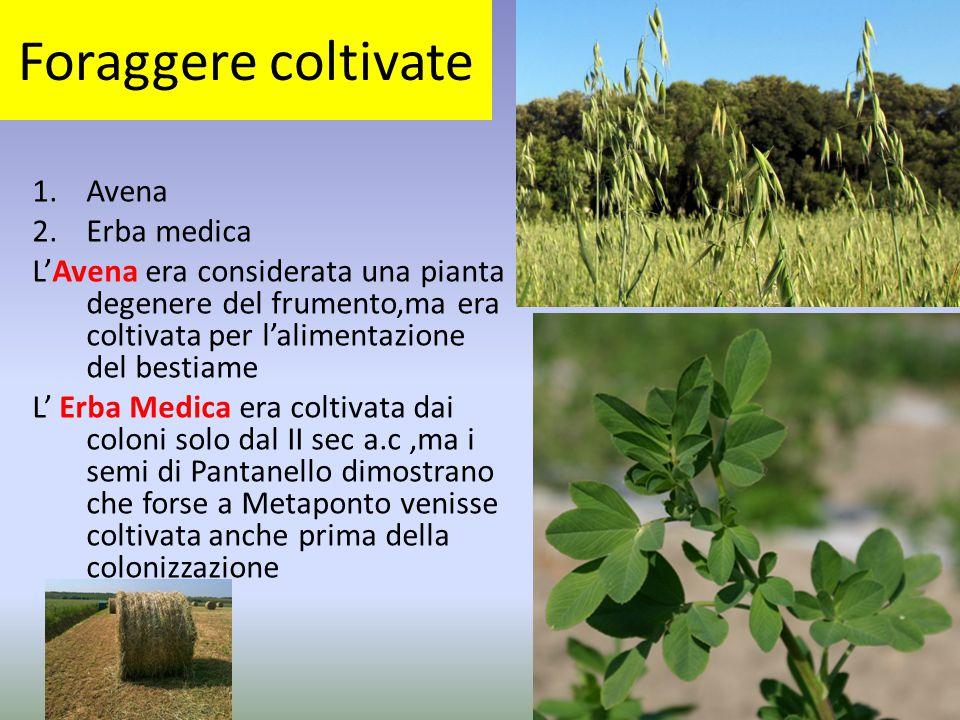 Foraggere coltivate Avena Erba medica