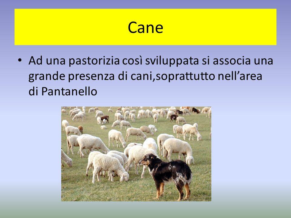 Cane Ad una pastorizia così sviluppata si associa una grande presenza di cani,soprattutto nell'area di Pantanello.