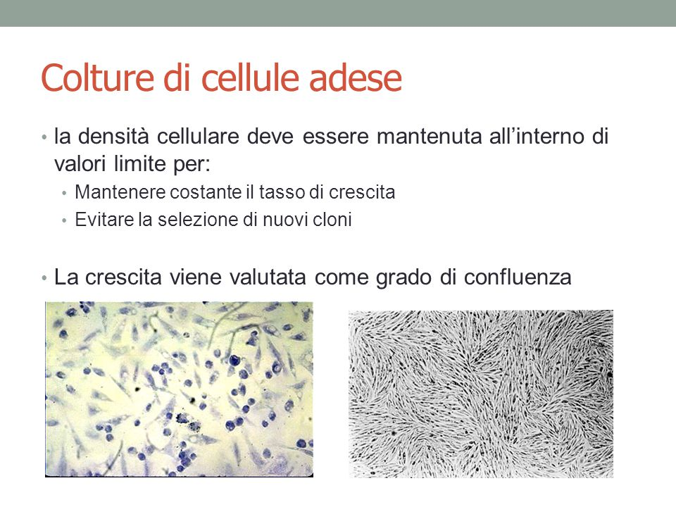 Colture di cellule adese