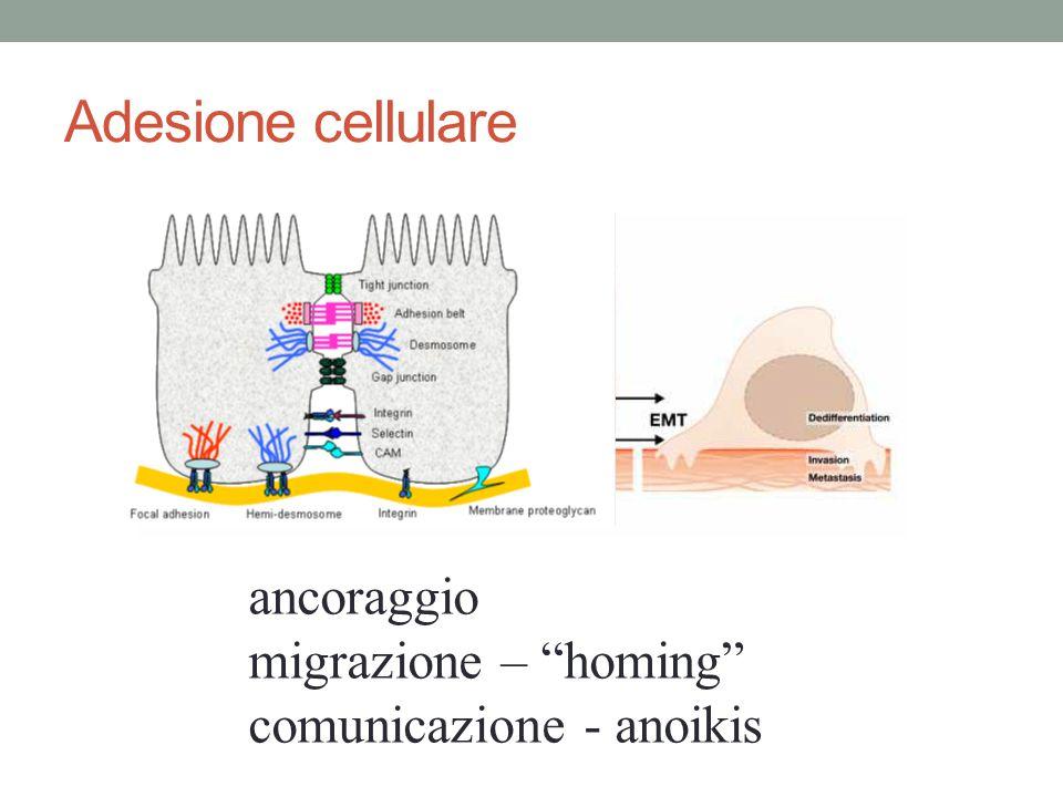 Adesione cellulare ancoraggio migrazione – homing