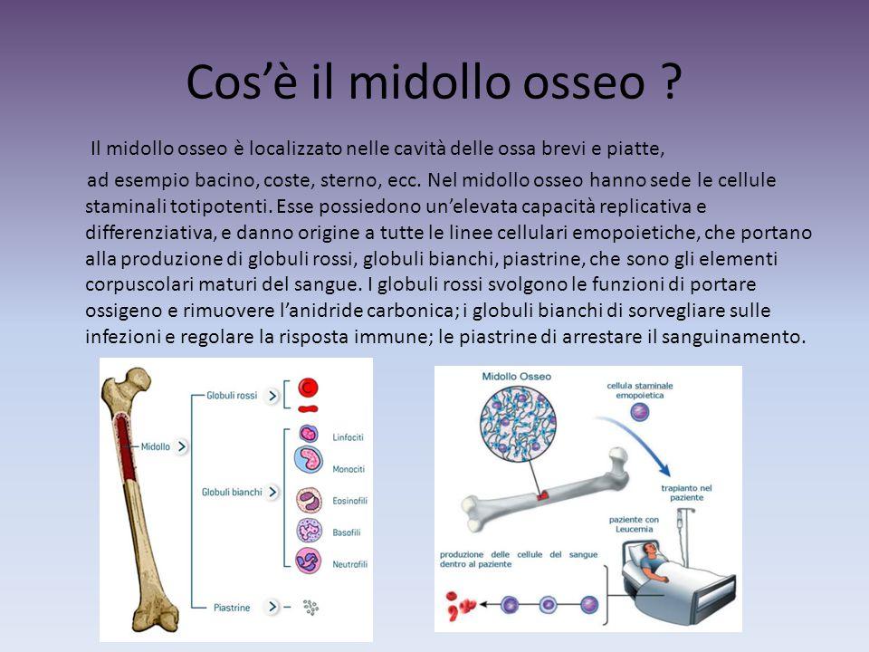 Cos'è il midollo osseo Il midollo osseo è localizzato nelle cavità delle ossa brevi e piatte,