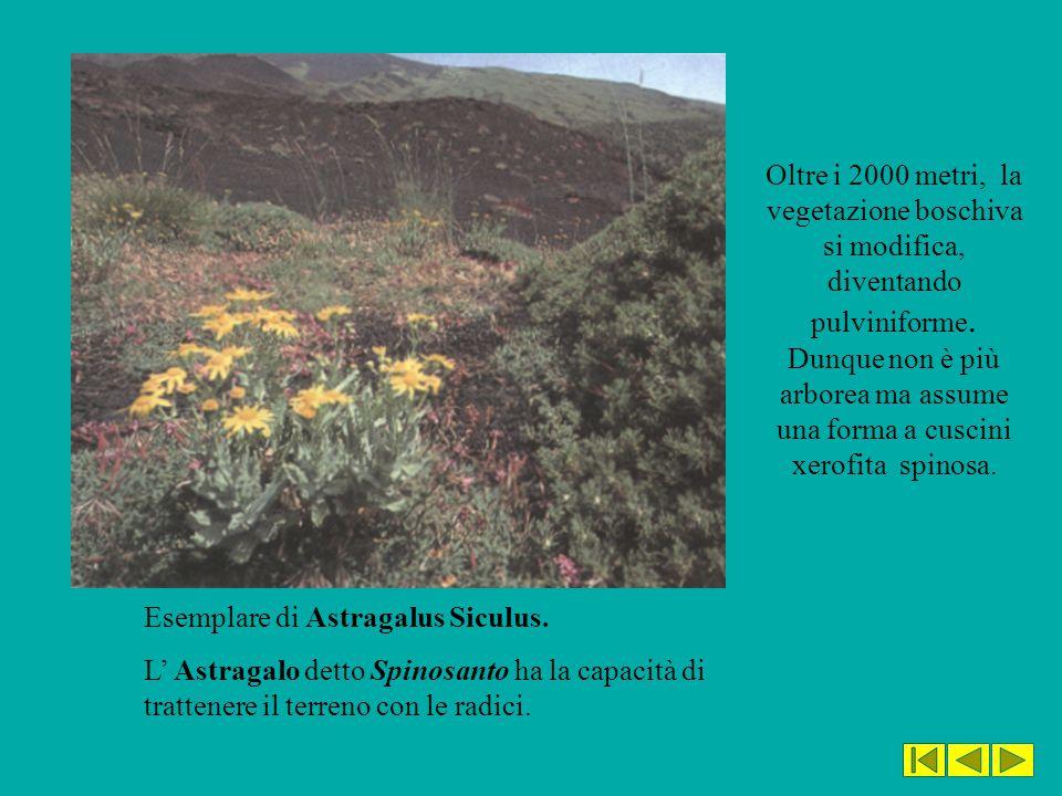 Oltre i 2000 metri, la vegetazione boschiva si modifica, diventando pulviniforme. Dunque non è più arborea ma assume una forma a cuscini xerofita spinosa.