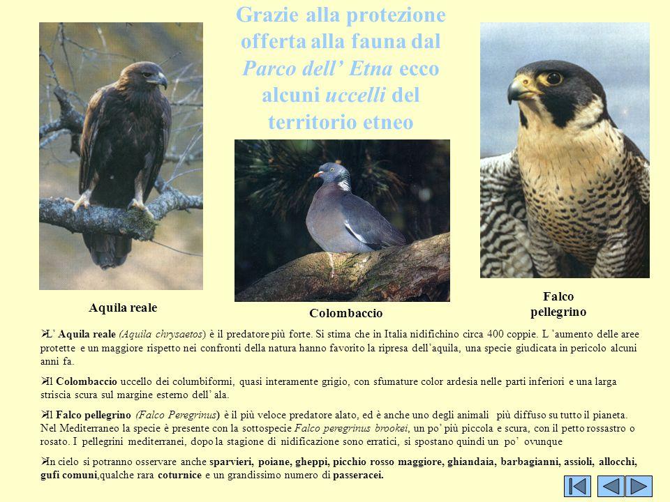 Grazie alla protezione offerta alla fauna dal Parco dell' Etna ecco alcuni uccelli del territorio etneo
