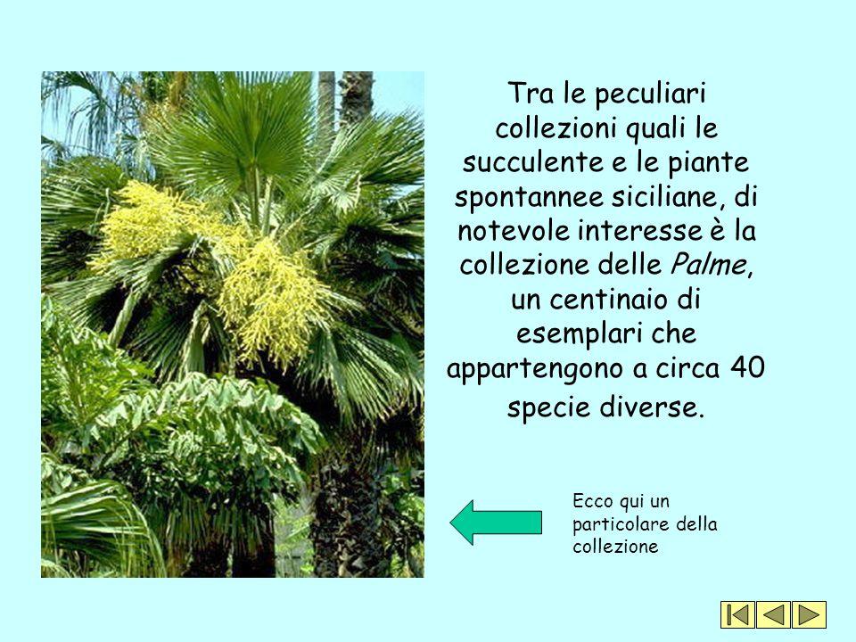 Tra le peculiari collezioni quali le succulente e le piante spontannee siciliane, di notevole interesse è la collezione delle Palme, un centinaio di esemplari che appartengono a circa 40 specie diverse.