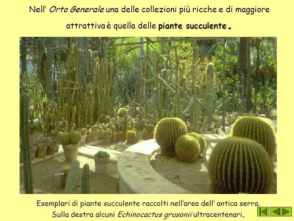 Nell' Orto Generale una delle collezioni più ricche e di maggiore attrattiva è quella delle piante succulente.