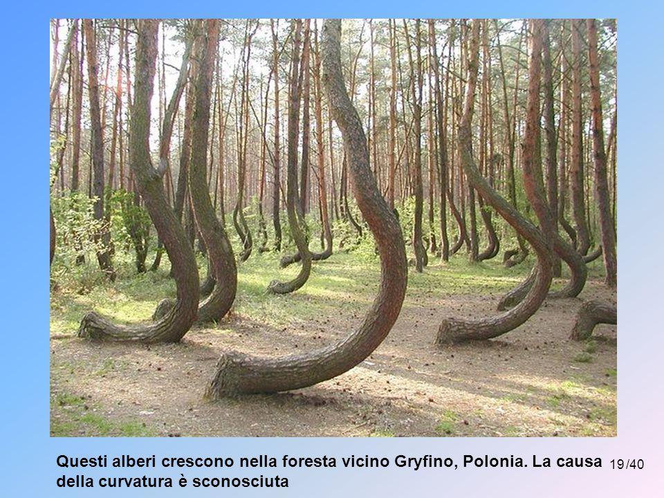 Questi alberi crescono nella foresta vicino Gryfino, Polonia