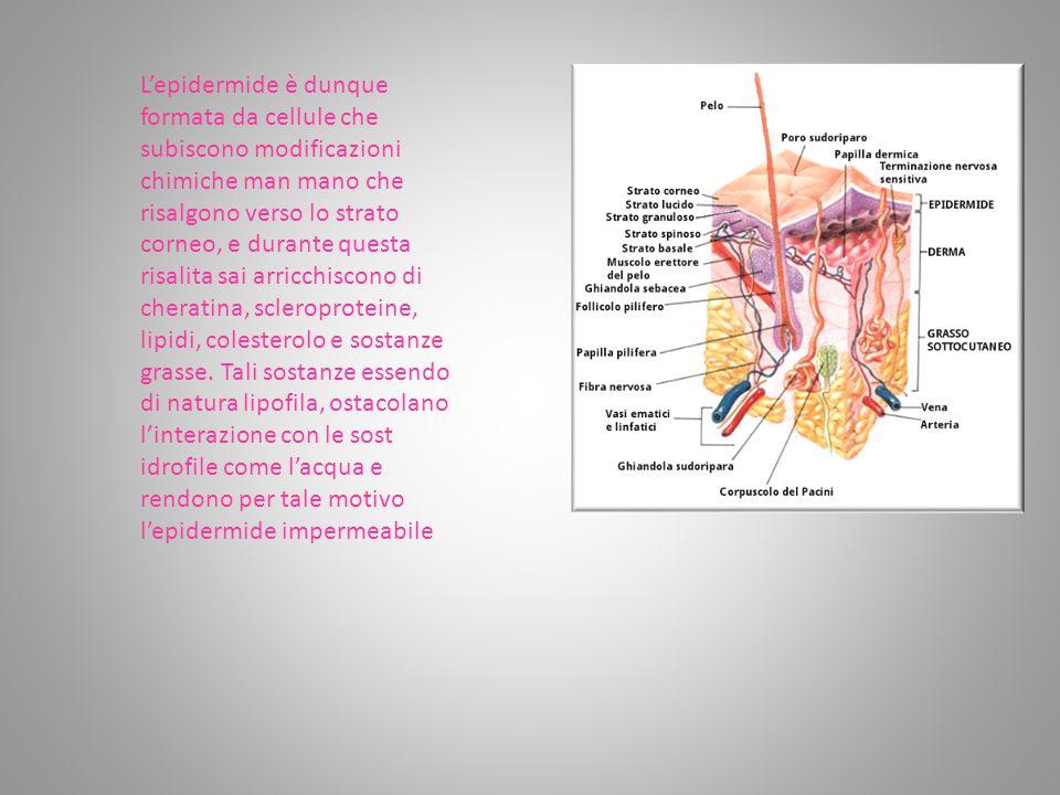 L'epidermide è dunque formata da cellule che subiscono modificazioni chimiche man mano che risalgono verso lo strato corneo, e durante questa risalita sai arricchiscono di cheratina, scleroproteine, lipidi, colesterolo e sostanze grasse.