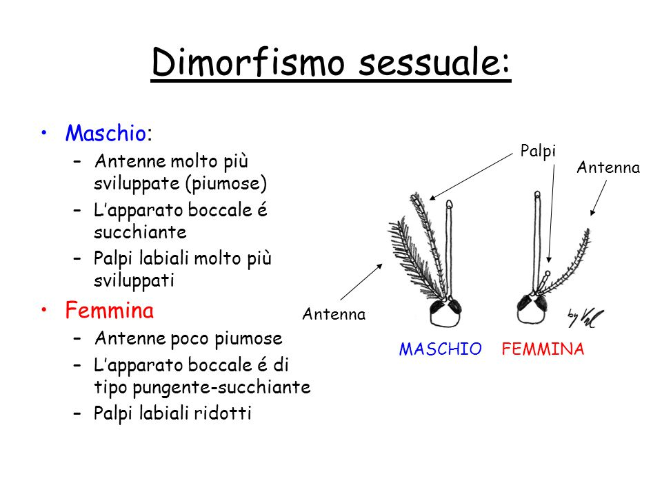 Dimorfismo sessuale: Maschio: Femmina