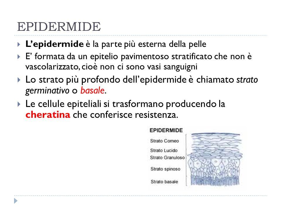 EPIDERMIDE L'epidermide è la parte più esterna della pelle.
