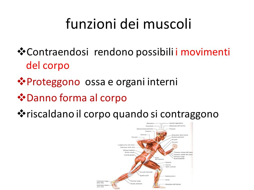 funzioni dei muscoli Contraendosi rendono possibili i movimenti del corpo. Proteggono ossa e organi interni.
