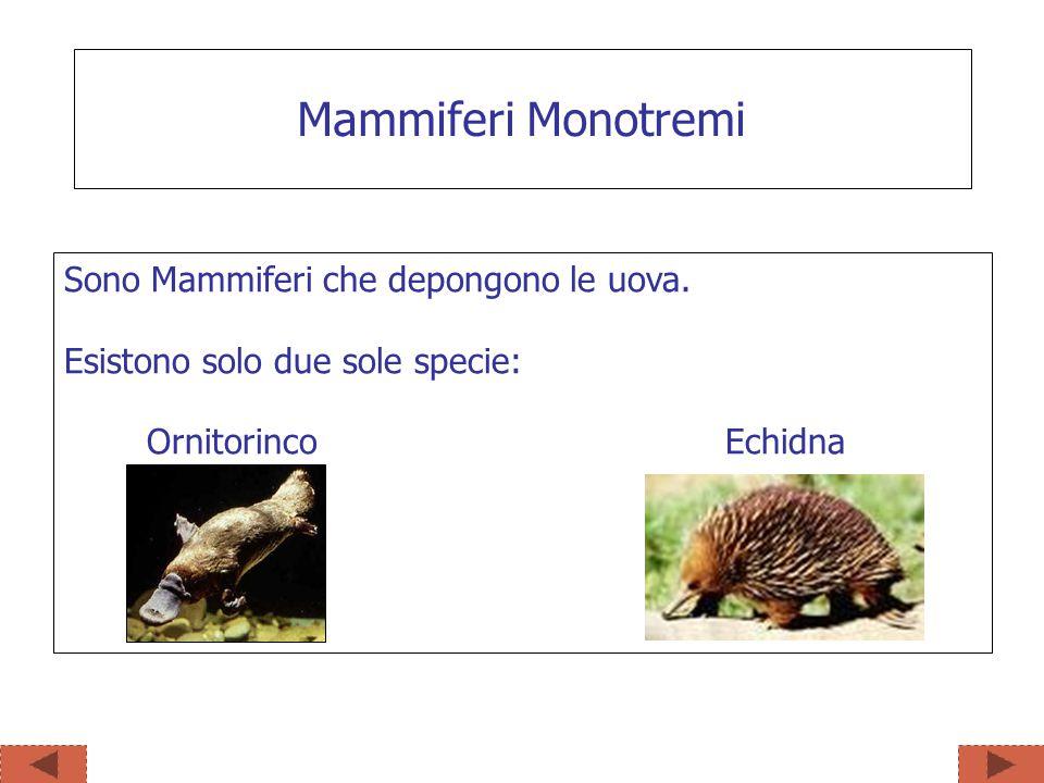 Mammiferi Monotremi Sono Mammiferi che depongono le uova.